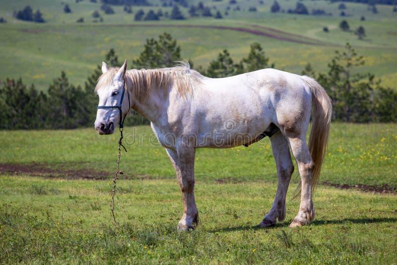 Binnenlands wit paard op gebied op een berg royalty-vrije stock foto