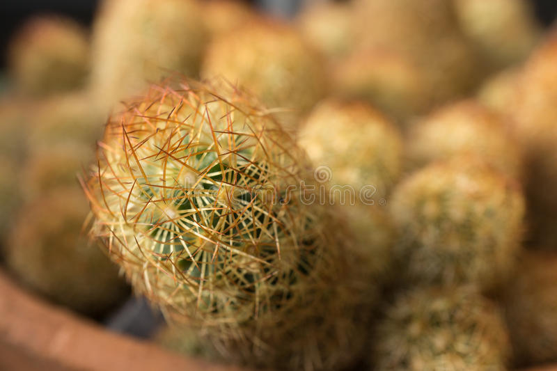 Binnenlandse cactusclose-up in woestijn royalty-vrije stock afbeeldingen