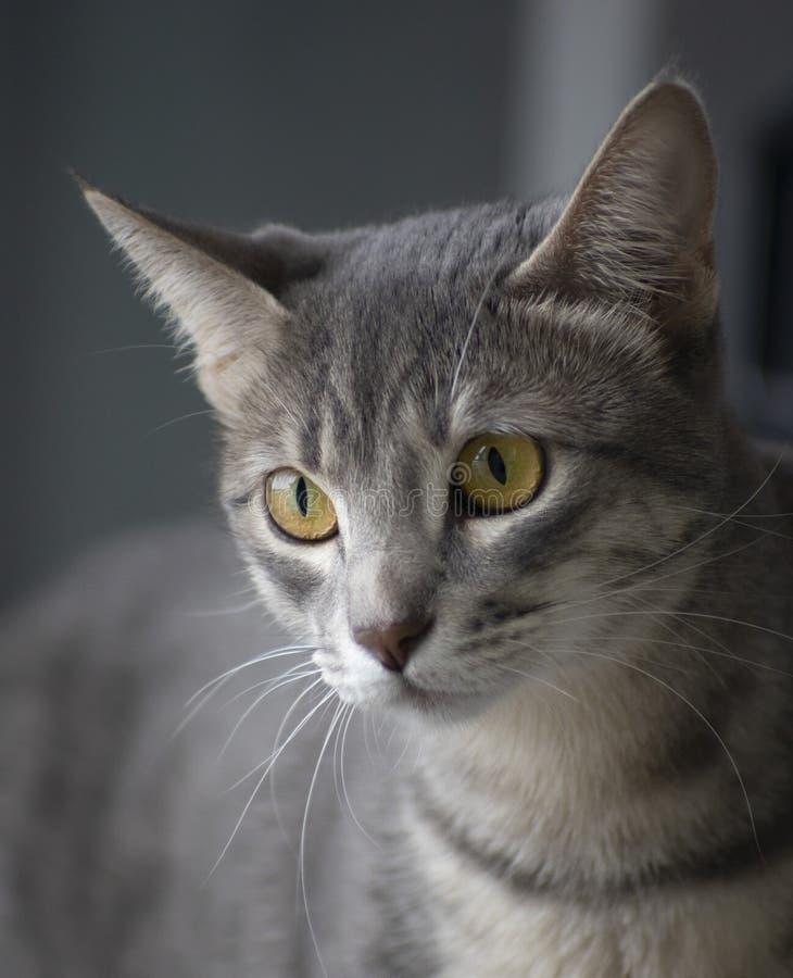 Binnenlandse Cat Portrait stock foto's