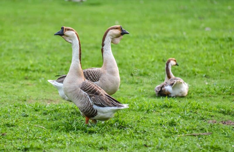 Binnenlandse Chinese ganzen Bewerken de Kleurrijke grote vogels van de aardetoon op een hobby in Ontario, Canada stock foto's