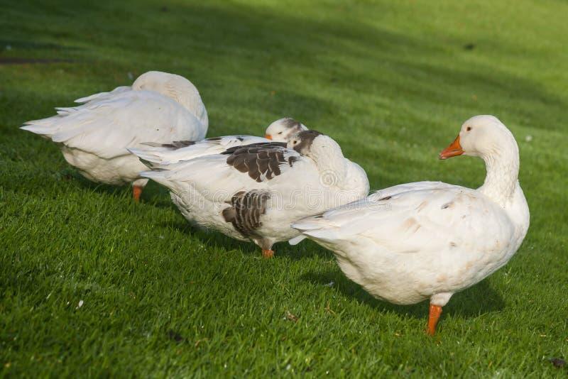Binnenlandse ganzen die op grasrijke weide rusten royalty-vrije stock foto