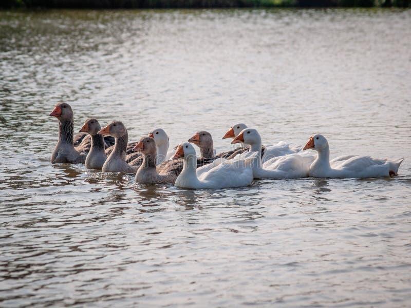 Binnenlandse ganzen die op het water van de vijver drijven die, door de zon wordt verlicht royalty-vrije stock foto
