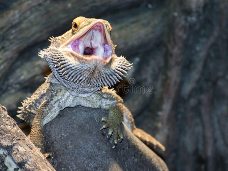 Binnenlandse gebaarde Draken (Pogona vitticeps) royalty-vrije stock foto's