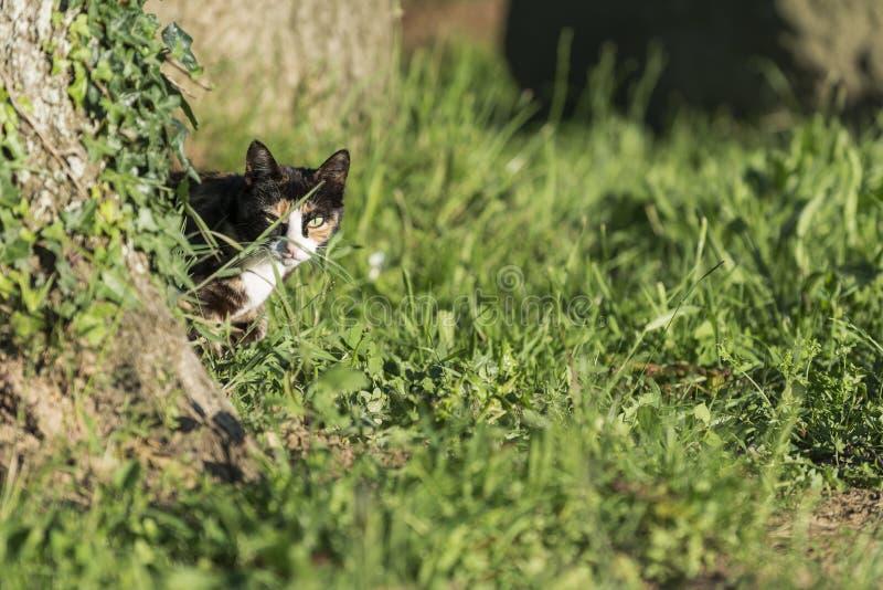 Binnenlandse kat die camera achter een boom bekijken royalty-vrije stock fotografie
