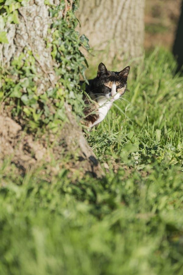 Binnenlandse kat die camera achter een boom bekijken royalty-vrije stock afbeelding