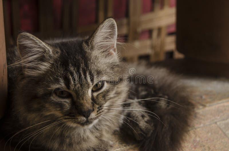 Binnenlandse kattenkruising met Perzische kat die die met scherpe ogen seing stock fotografie