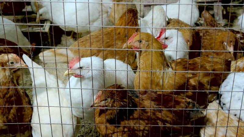 Binnenlandse kippen achter een draadomheining stock afbeelding