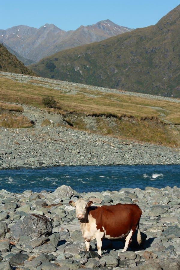 Binnenlandse koe bij riverbank stock foto's