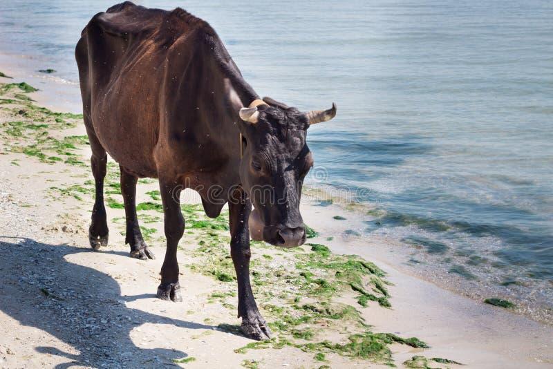 Binnenlandse landbouwbedrijf rode zwarte koe die op overzeese strandkustlijn lopen royalty-vrije stock afbeeldingen
