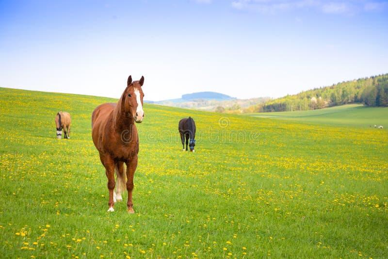 Binnenlandse paarden op een gebied royalty-vrije stock fotografie