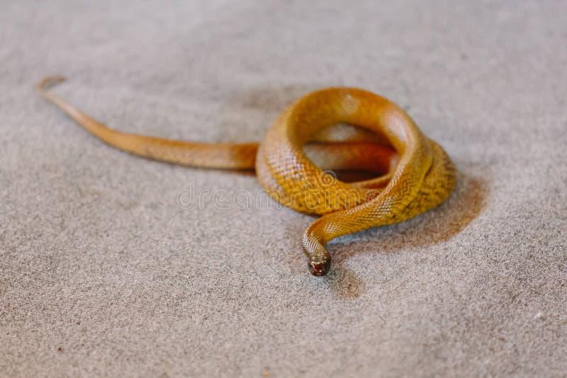 Binnenlandse taipan bij slang toont royalty-vrije stock fotografie