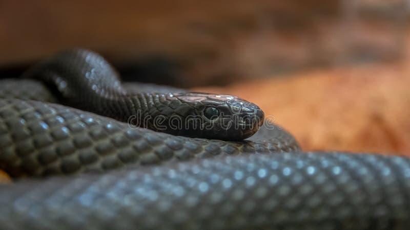 Binnenlandse taipan - Oxyuranus-microlepidotus stock foto