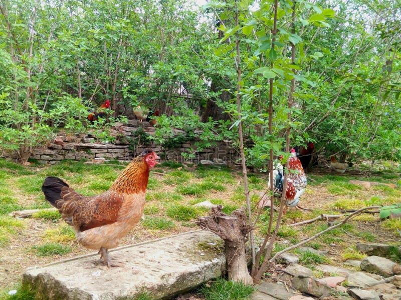 Binnenplaatsdieren, hanen en een het zingen kip stock foto's