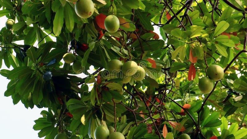 Bintaro Fruit. Cerbera manghas or bintaro fruit on tree at Monas Park, Jakarta, Indonesia stock photos