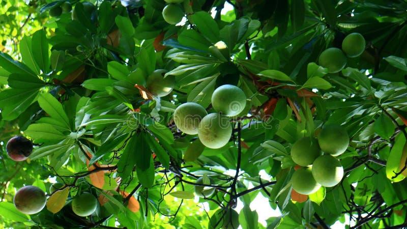 Bintaro Fruit. Cerbera manghas or bintaro fruit on tree at Monas Park, Jakarta, Indonesia stock photo