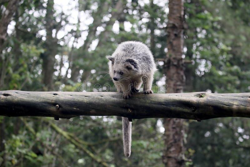 Bintorong Arctictisbinturong fotografering för bildbyråer