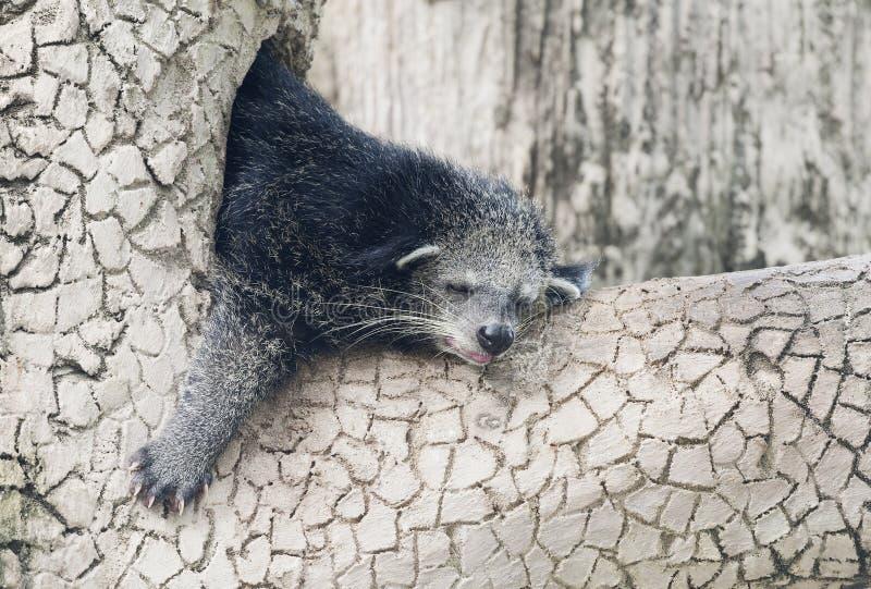 Binturong спать на дереве стоковые изображения rf