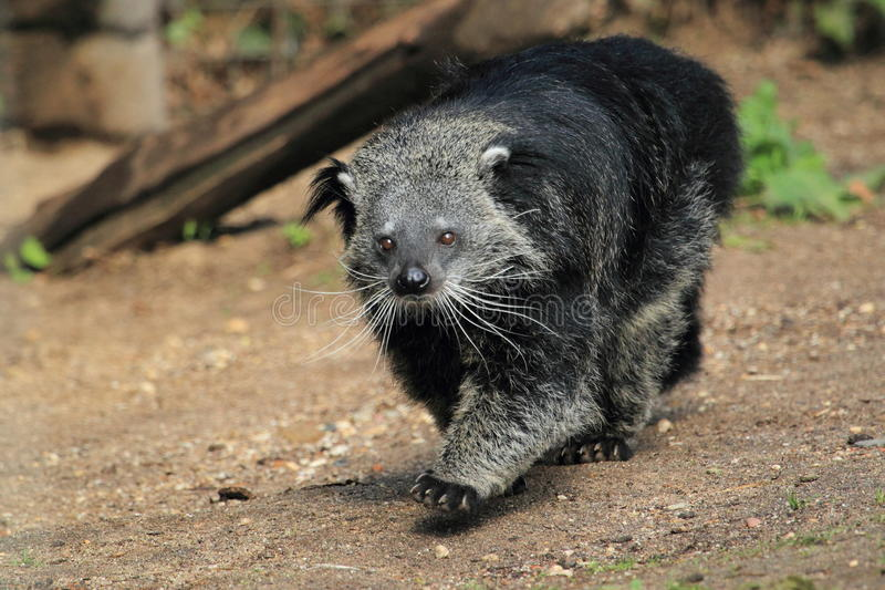 Binturong   photographie stock