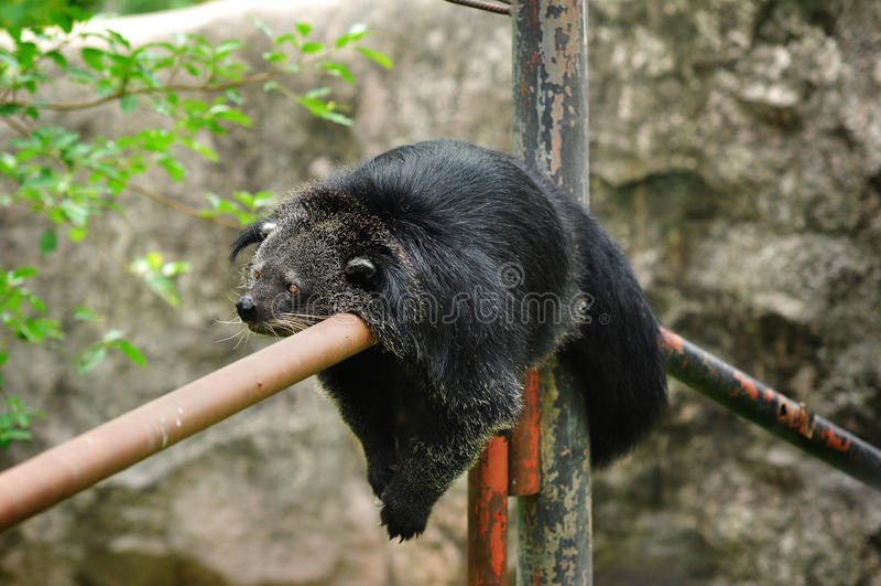 Binturong bear stock image