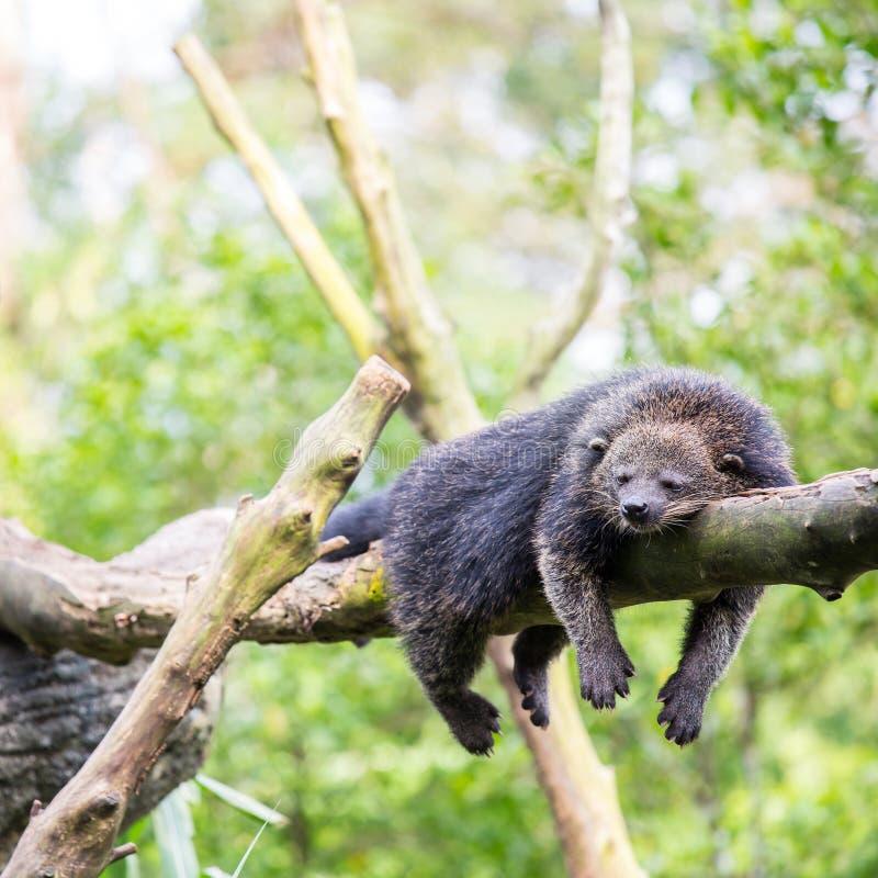 Binturong bearcat slaap royalty-vrije stock foto's