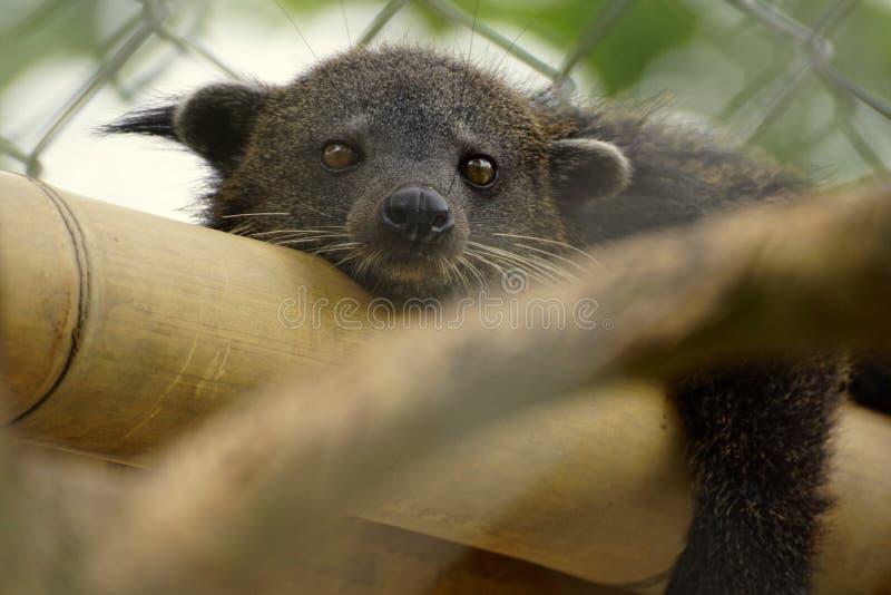 Binturong björnkatten royaltyfri foto