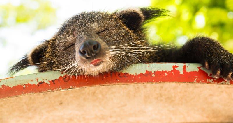 Binturong de sommeil image libre de droits