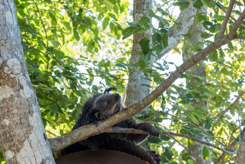 Binturong eller björnCat Arctictis binturong arkivfoton