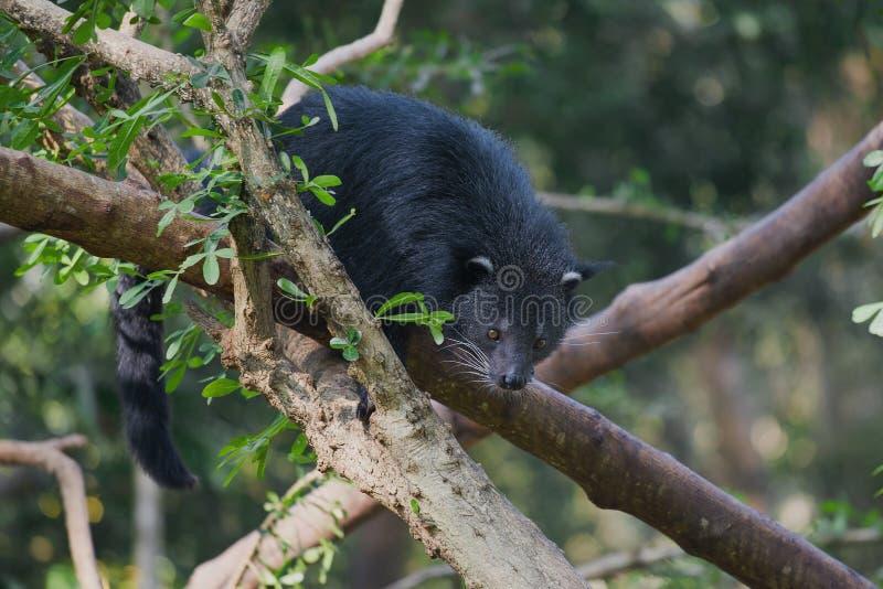 Binturong kattbjörn på filialerna av ett träd på en solig dag royaltyfria bilder
