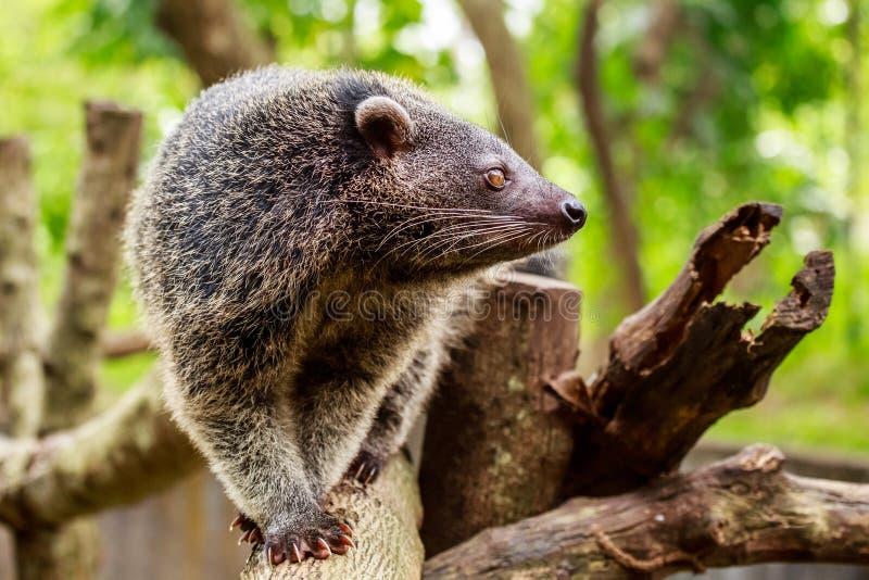 Binturong lub philipino bearcat odprowadzenie na drzewach, Palawan, Ph zdjęcie royalty free