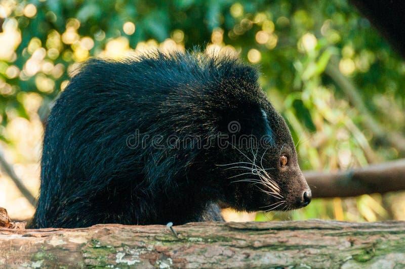 Binturong lub philipino bearcat patrzeje ciekawie od drzewa, Palawan, Filipiny obrazy stock