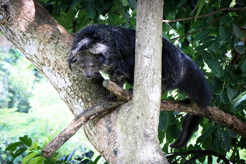 Binturong stoi na drzewie obraz stock
