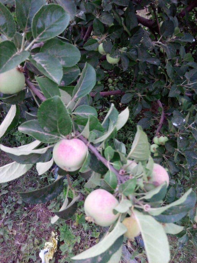 Bio äpple royaltyfri fotografi