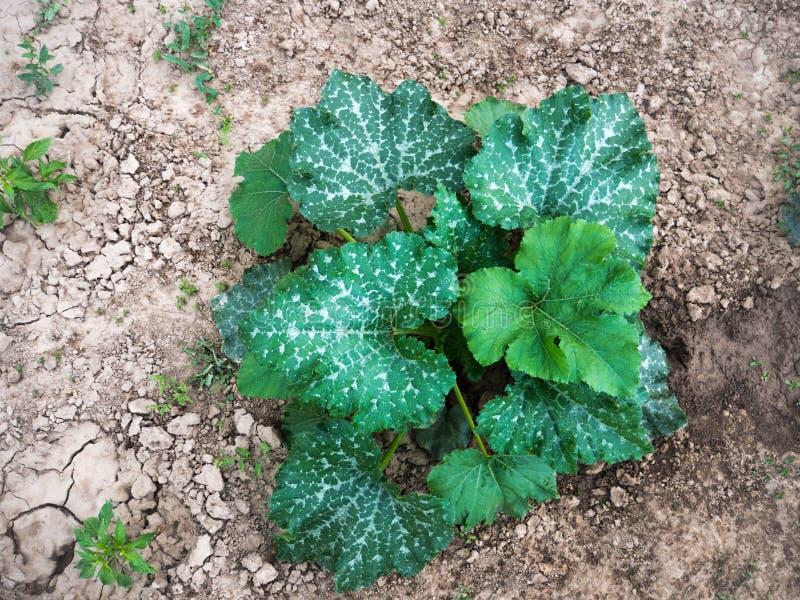 Bio agriculture avec la jeune usine de potiron dans le jardin organique naturel photographie stock libre de droits
