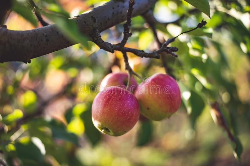 Bio apples on the tree in orchard stock photos