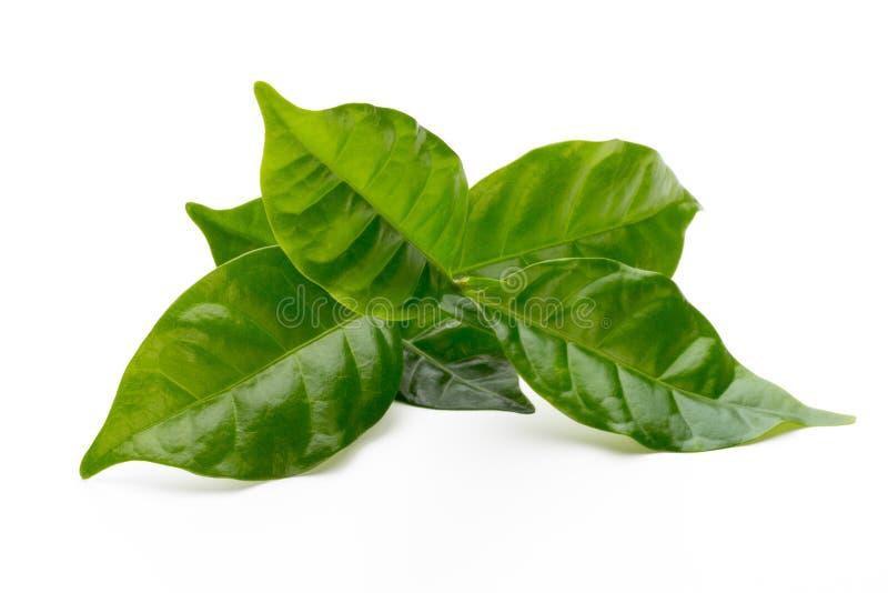 Green tea leaf isolated on white background. Bio green tea leaf isolated on white background royalty free stock image
