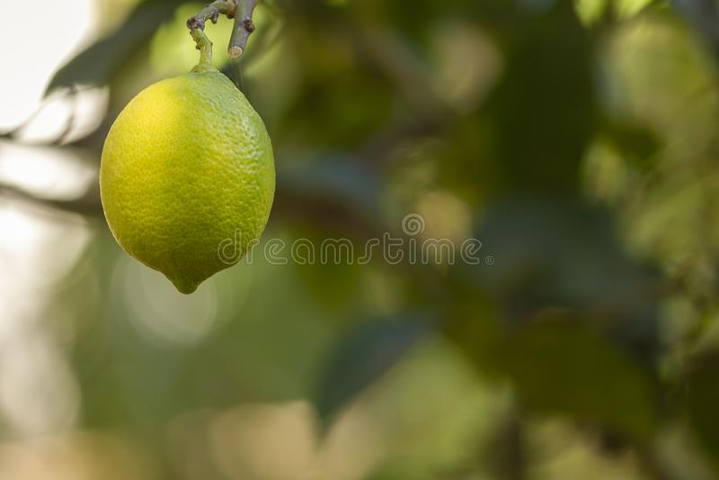 Bio organic lemon fruit hanging on the tree royalty free stock photo
