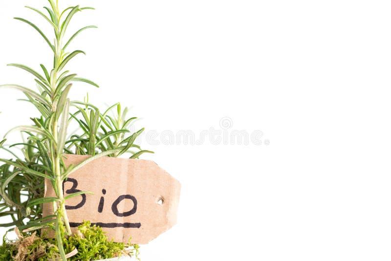 Bio- pianta dei rosmarini fotografia stock libera da diritti