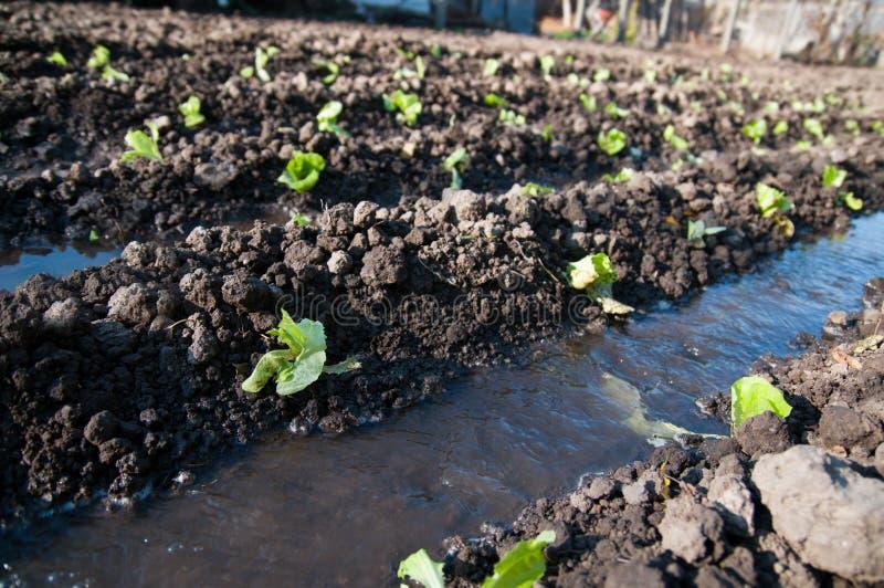 Bio- piantagione della lattuga fotografie stock libere da diritti