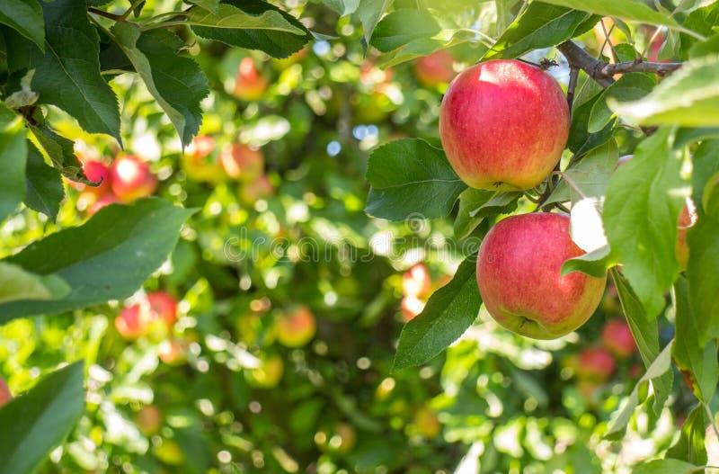 Bio röda äpplen i träd royaltyfria bilder