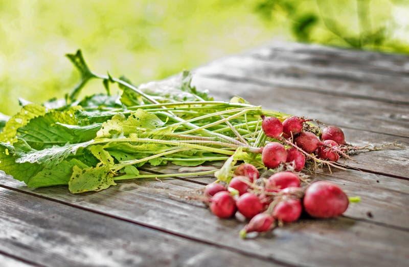 Bio- ravanello rosso e sano diritto dal giardino immagini stock