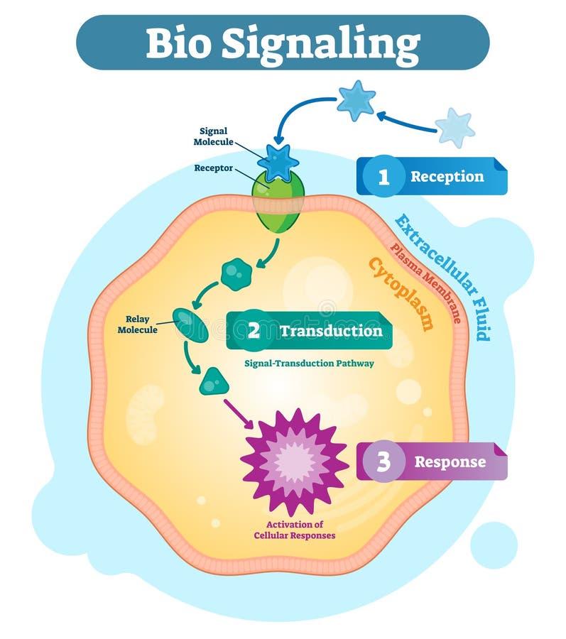 Bio sistema de comunicación de la célula de la señalización, ejemplo biológico del vector del diagrama de la anatomía con el rece ilustración del vector