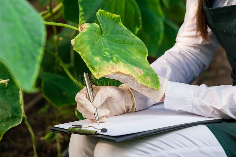 Bio técnico de sexo femenino que examina las hojas del pepino imagenes de archivo