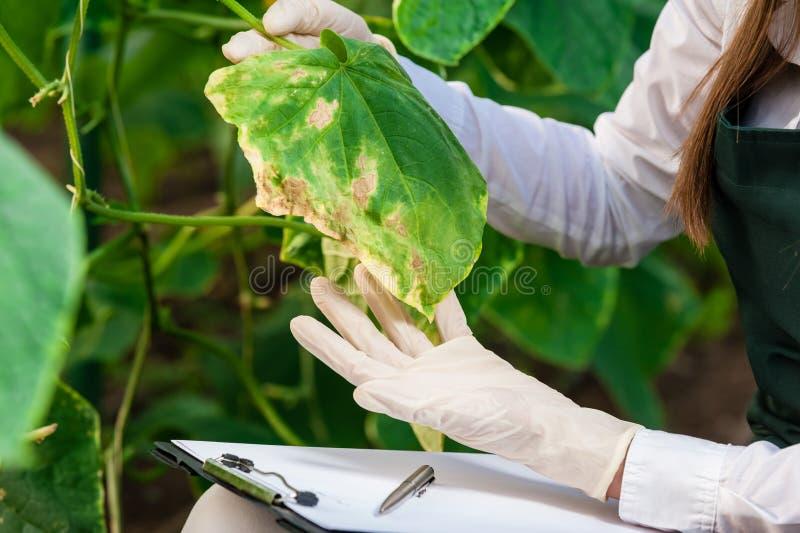 Bio- tecnico femminile che ispeziona le foglie del cetriolo fotografia stock