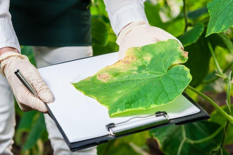 Bio- tecnico femminile che ispeziona le foglie del cetriolo fotografia stock libera da diritti