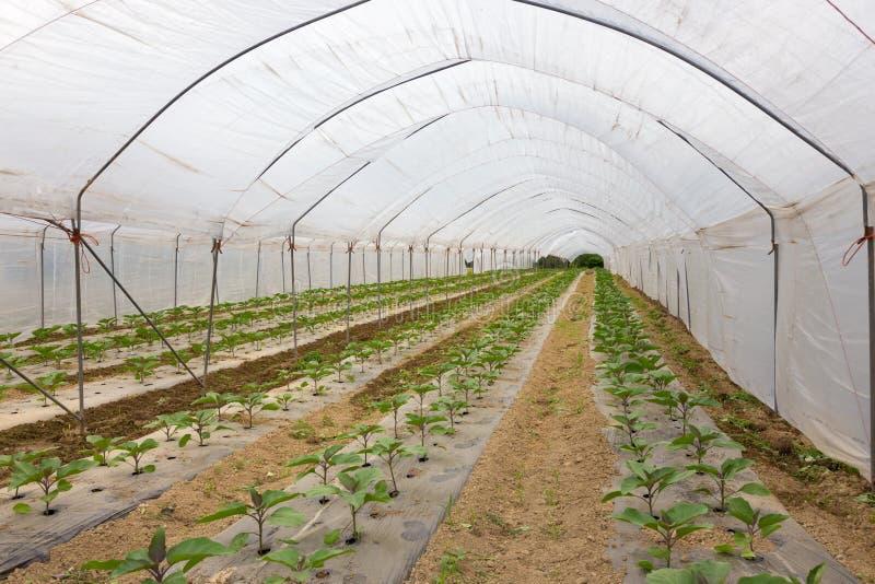 Bio tomater som växer i växthuset royaltyfri bild
