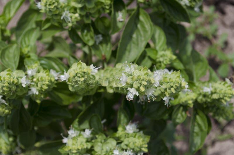 Bio verduras crecientes imagen de archivo