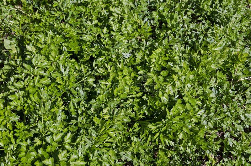 Bio verduras crecientes foto de archivo