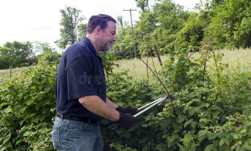 Biobauer-Pruning His Raspberry-Anlagen lizenzfreies stockfoto