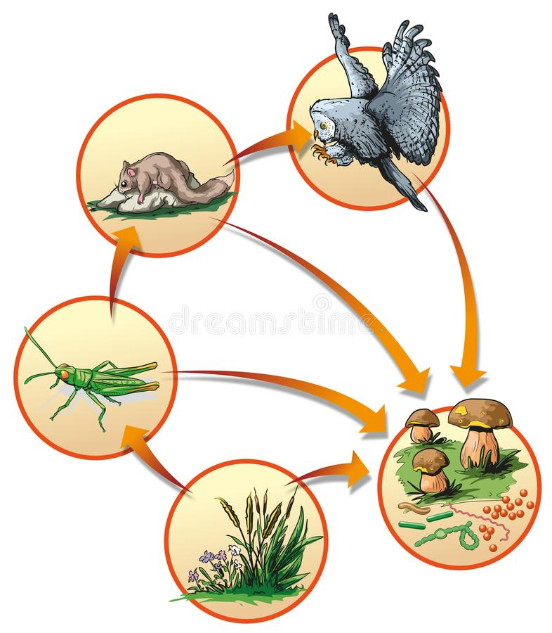 Food chain. Vector illustration of basic food chain in forest owl stock illustration