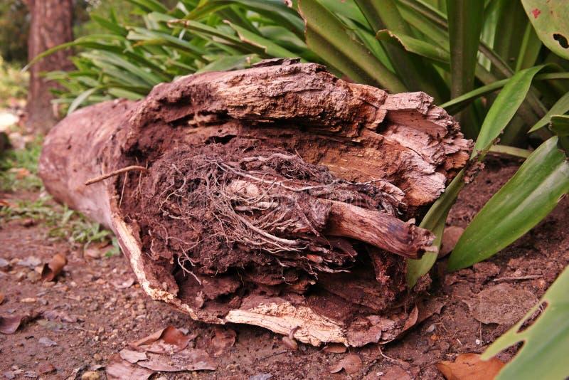 Biodegradação de madeira da micro flora imagem de stock